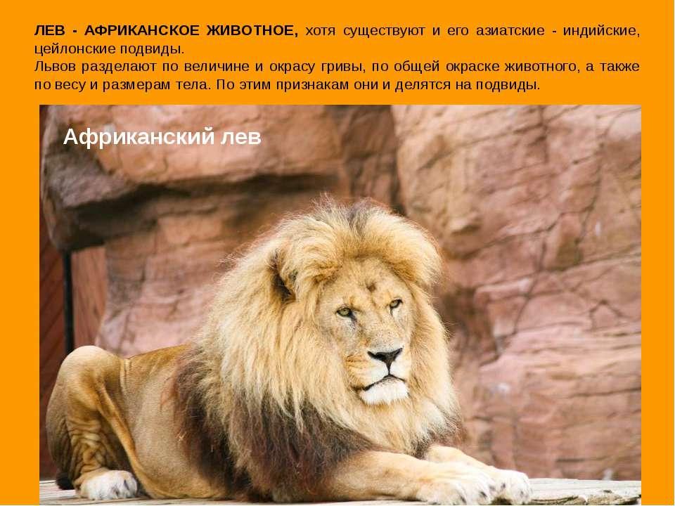 Африканский лев ЛЕВ - АФРИКАНСКОЕ ЖИВОТНОЕ, хотя существуют и его азиатские -...