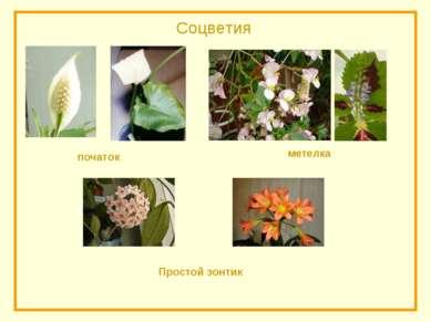 Соцветия початок Простой зонтик метелка