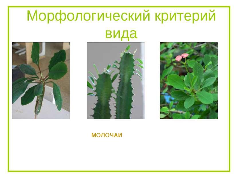 Морфологический критерий вида МОЛОЧАИ
