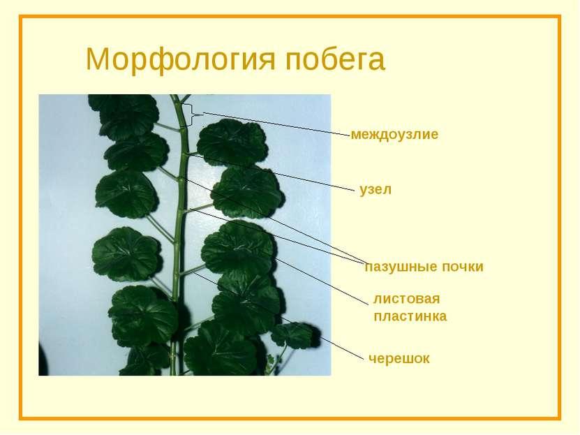 Морфология побега черешок пазушные почки узел междоузлие листовая пластинка