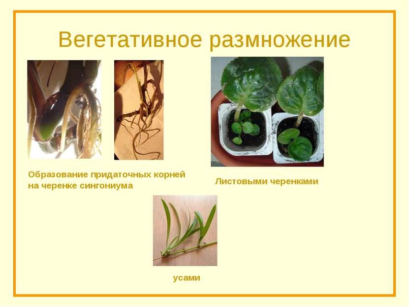 Вегетативное размножение усами Листовыми черенками Образование придаточных ко...