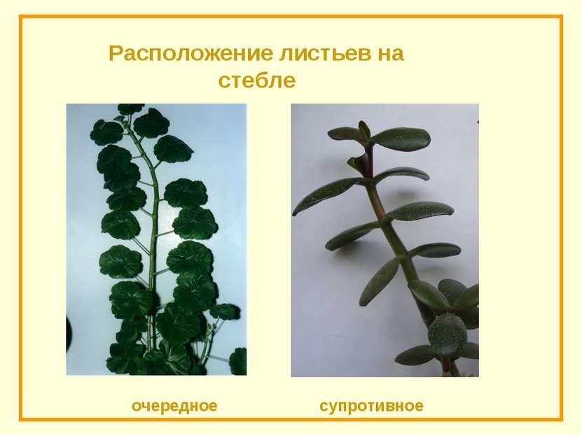 Расположение листьев на стебле очередное супротивное