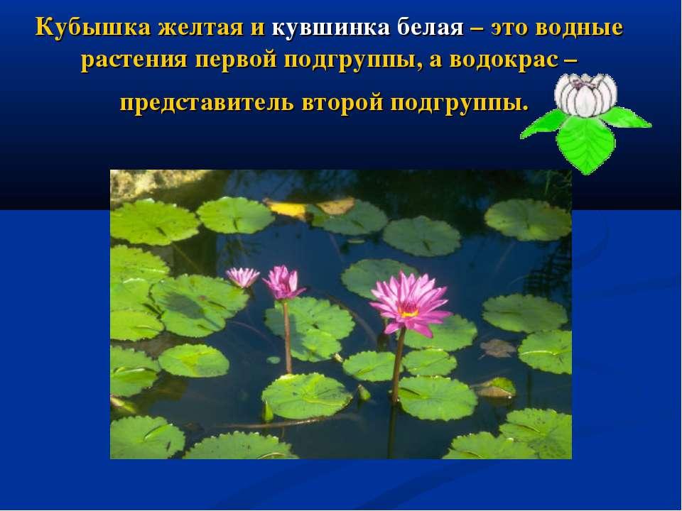 Кубышка желтая и кувшинка белая – это водные растения первой подгруппы, а вод...