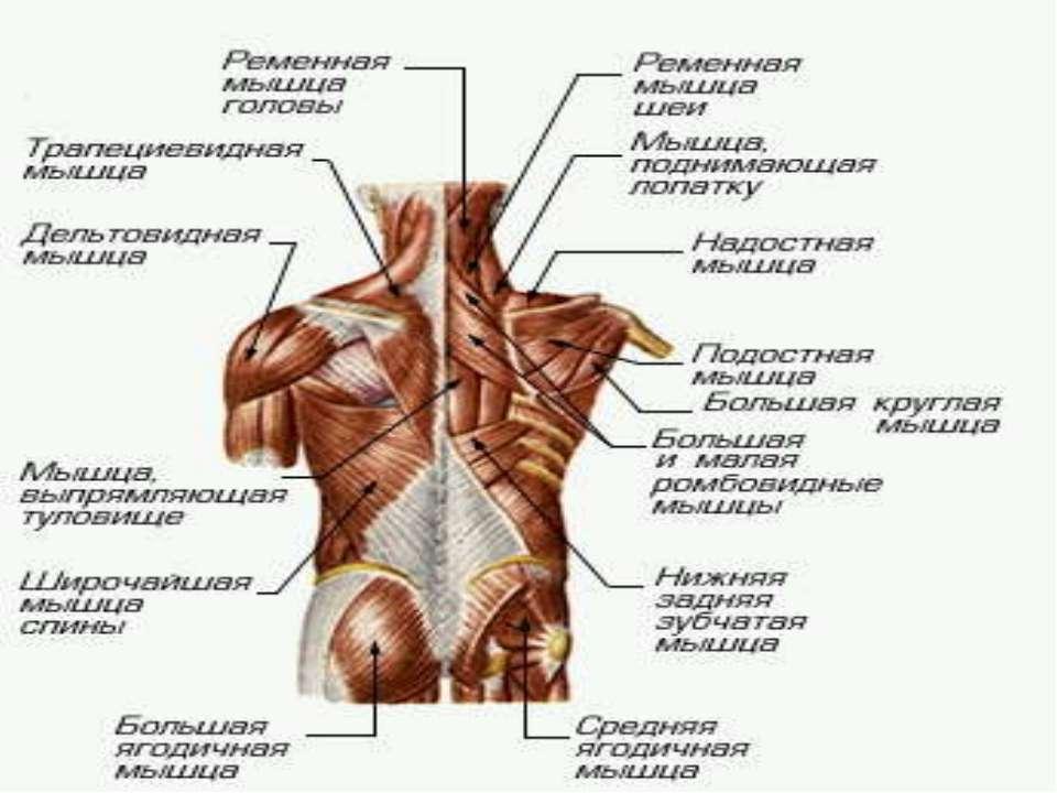 МЫШЕЧНАЯ СИСТЕМА МЫШЕЧНАЯ СИСТЕМА, совокупность мышц и мышечных пучков, объед...