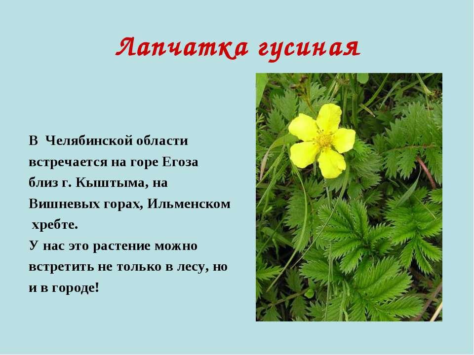 Лапчатка гусиная В Челябинской области встречается на горе Егоза близ г. Кышт...