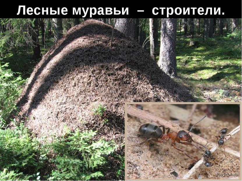 Лесные муравьи – строители.