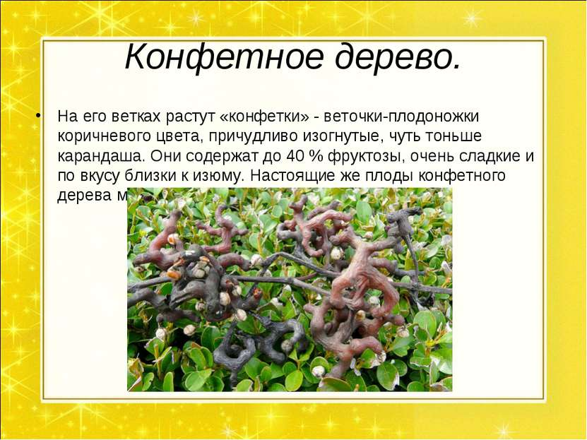 Конфетное дерево. На его ветках растут «конфетки» - веточки-плодоножки коричн...