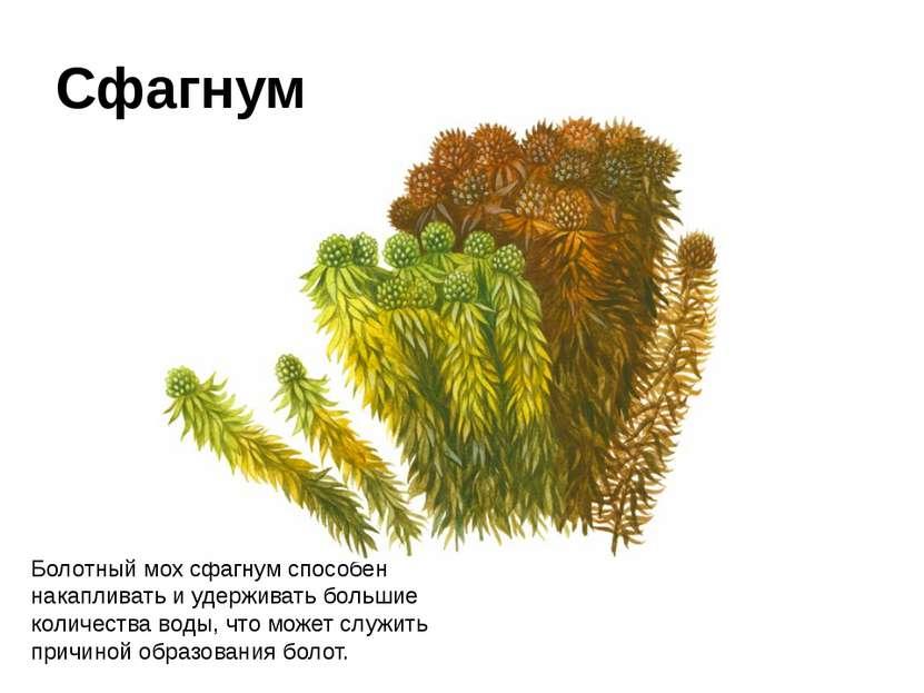 Болотный мох сфагнум способен накапливать иудерживать большие количества вод...