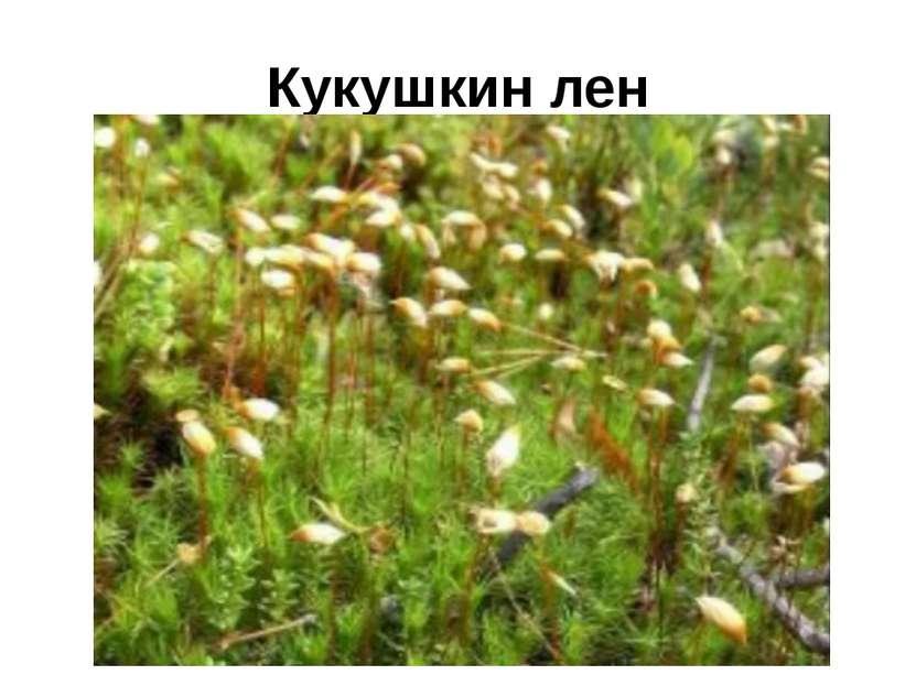 Кукушкин лен