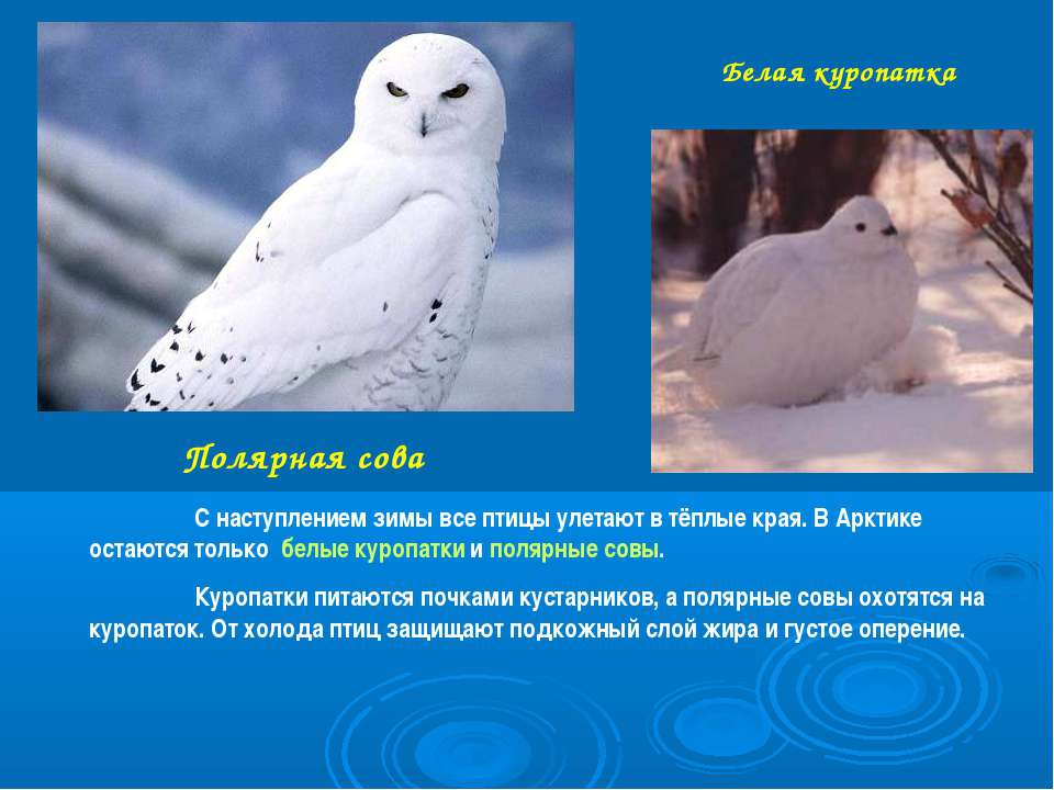 Полярная сова Белая куропатка С наступлением зимы все птицы улетают в тёплые ...