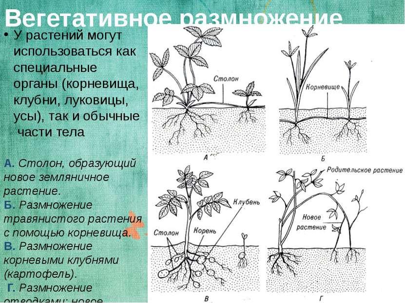 Вегетативное размножение У растений могут использоваться как специальные орга...