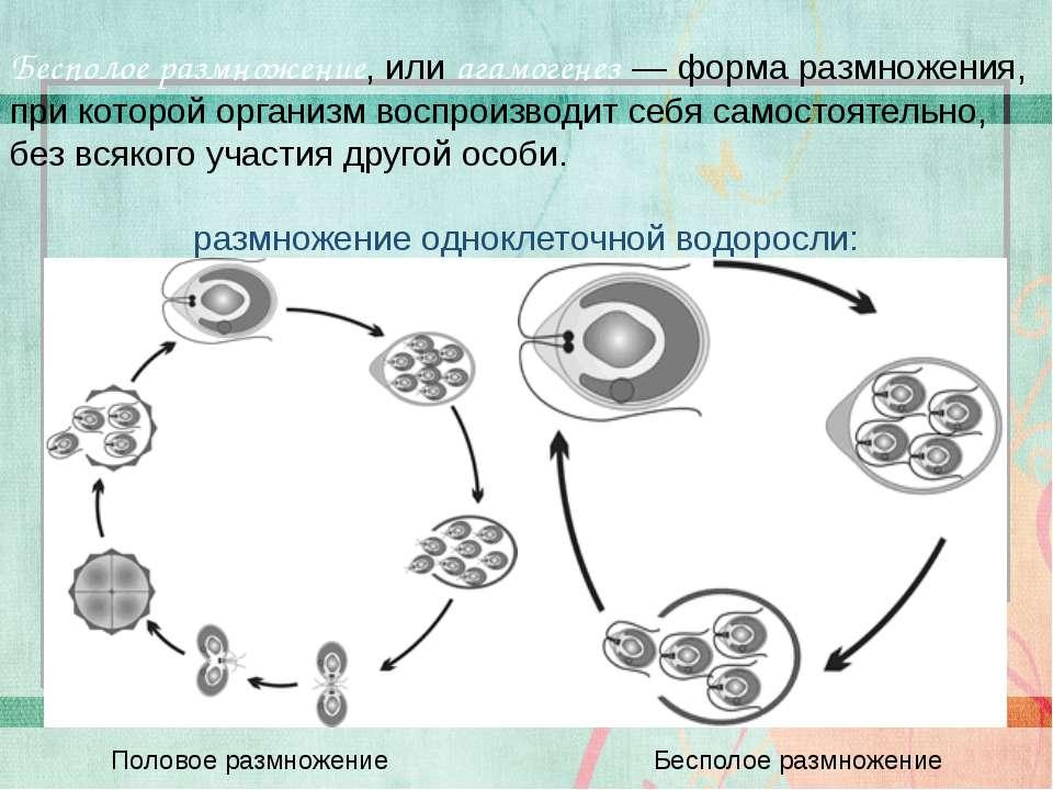Бесполое размножение, или агамогенез — форма размножения, при которой организ...