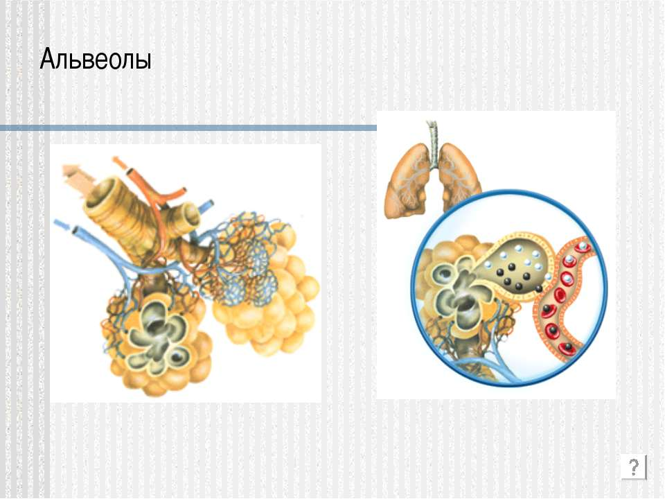 Альвеолы