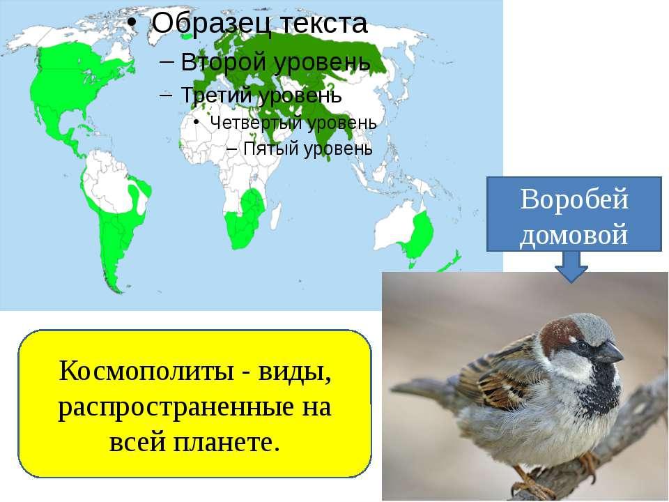 Космополиты - виды, распространенные на всей планете. Воробей домовой