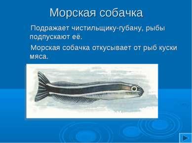 Морская собачка Подражает чистильщику-губану, рыбы подпускают её. Морская соб...