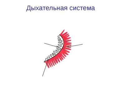 Дыхательная система Жабры Жаберная дуга Жаберные лепестки Жаберные тычинки