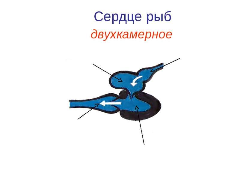 Сердце рыб Предсердие Желудочек Аорта Вена двухкамерное