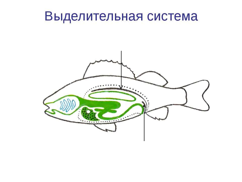Выделительная система Лентовидные почки Мочеточники