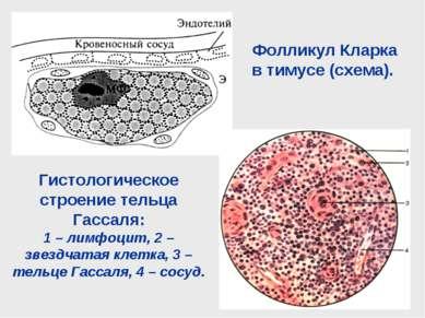 Фолликул Кларка в тимусе (схема). Гистологическое строение тельца Гассаля: 1 ...