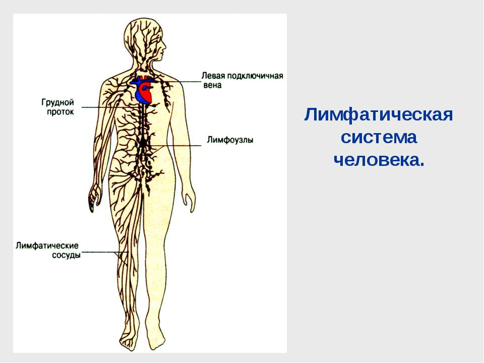 Лимфатическая система человека.