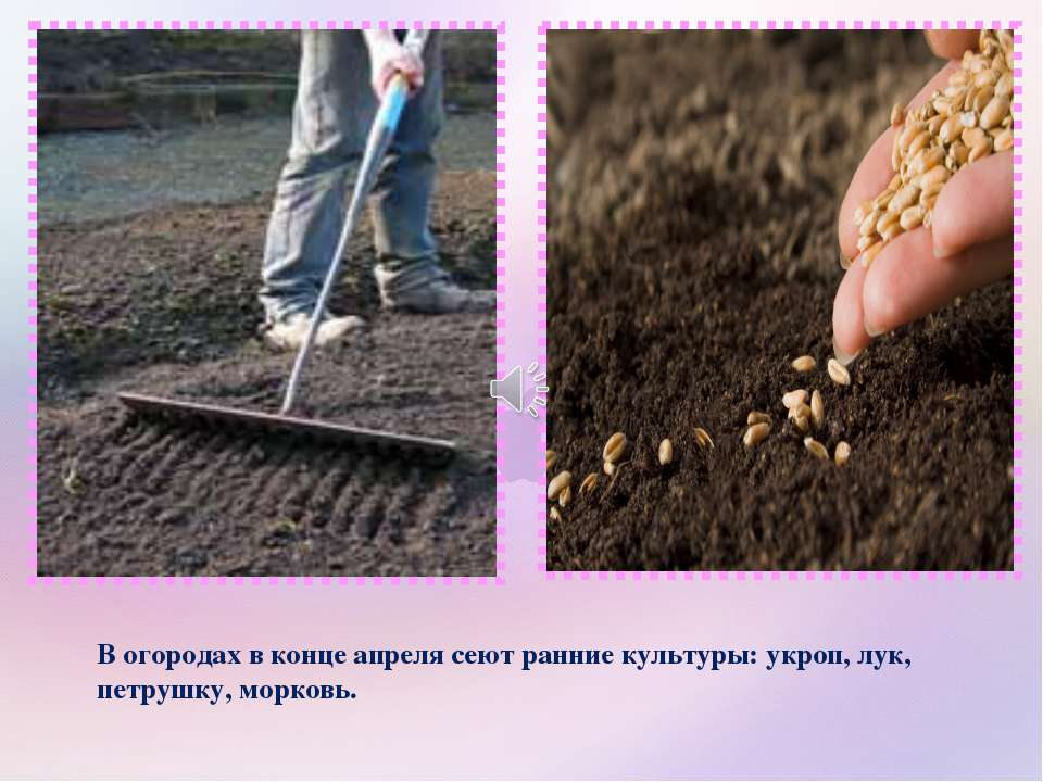 В огородах в конце апреля сеют ранние культуры: укроп, лук, петрушку, морковь.