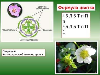 Формула цветка Ч5 Л 5 Т n П n Ч5 Л 5 Т n П 1 Соцветие: кисть, простой зонтик,...