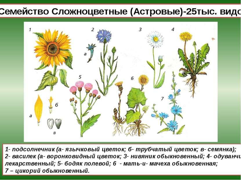 Семейство Сложноцветные (Астровые)-25тыс. видов 1- подсолнечник (а- язычковый...