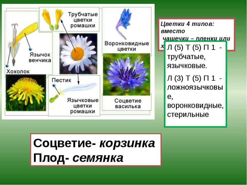 Цветки 4 типов: вместо чашечки – пленки или хохолок. Л (5) Т (5) П 1 - трубча...