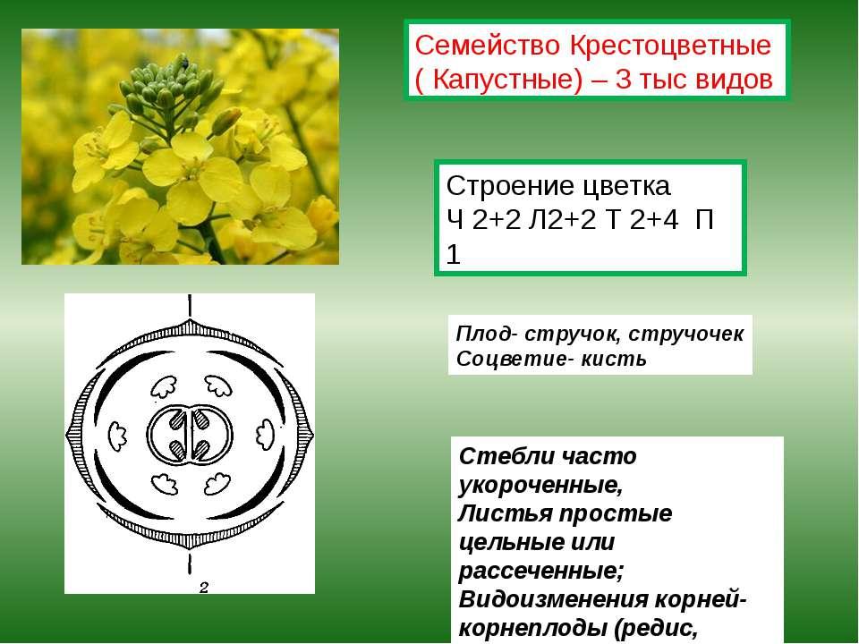 Строение цветка Ч 2+2 Л2+2 Т 2+4 П 1 Плод- стручок, стручочек Соцветие- кисть...