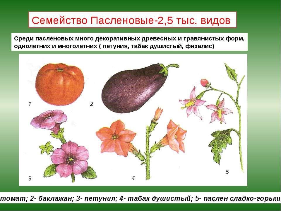 Семейство Пасленовые-2,5 тыс. видов 1- томат; 2- баклажан; 3- петуния; 4- таб...