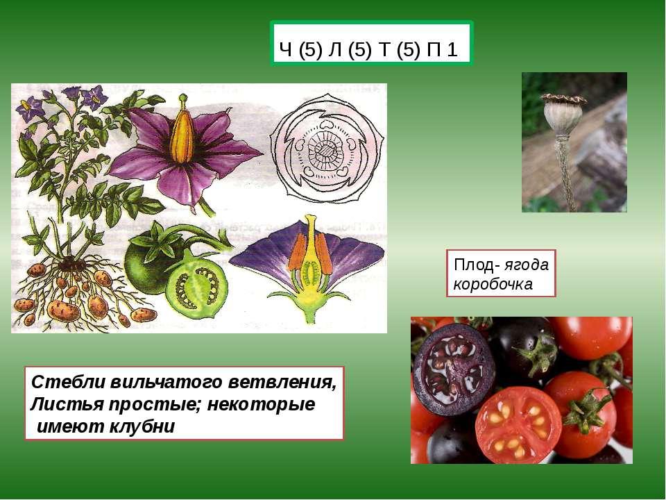 Ч (5) Л (5) Т (5) П 1 Плод- ягода коробочка Стебли вильчатого ветвления, Лист...