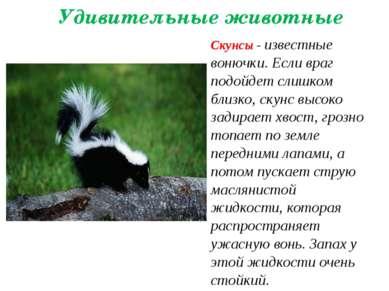 Удивительные животные Скунсы - известные вонючки. Если враг подойдет слишком ...