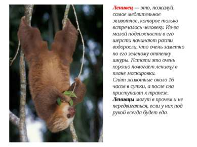 Ленивец— это, пожалуй, самое медлительное животное, которое только встречало...