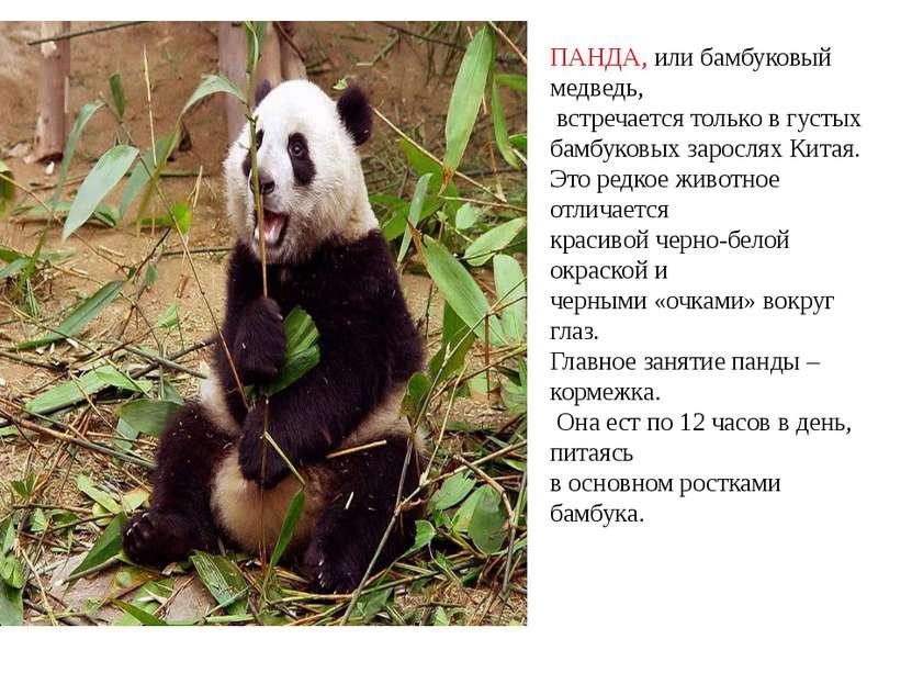 ПАНДА, или бамбуковый медведь, встречается только в густых бамбуковых заросля...