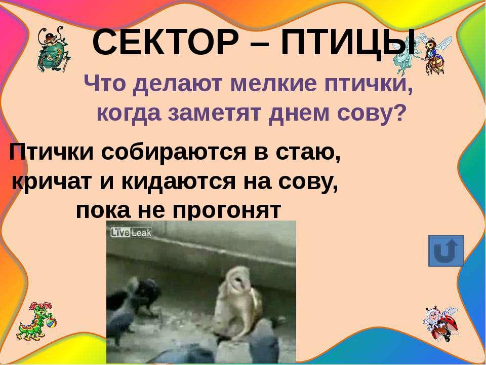СЕКТОР – ПТИЦЫ Зачем скворцы и галки «катаются» верхом на коровах, овцах, лош...