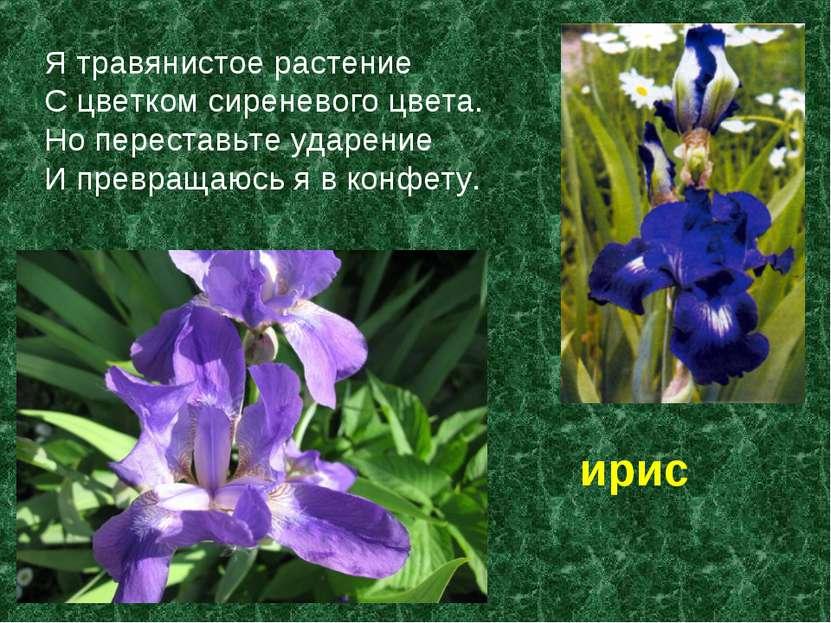 Я травянистое растение С цветком сиреневого цвета. Но переставьте ударение И ...
