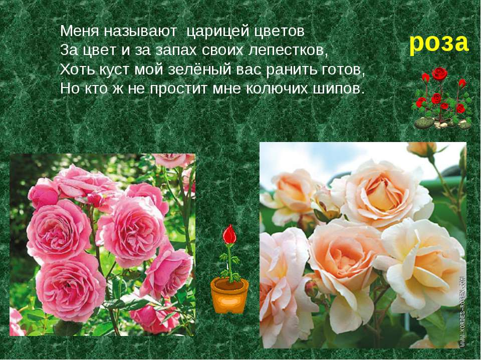 Меня называют царицей цветов За цвет и за запах своих лепестков, Хоть куст мо...