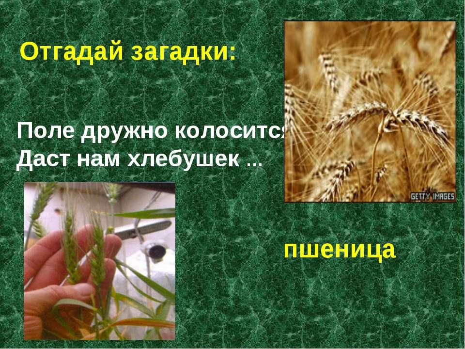 Поле дружно колосится Даст нам хлебушек … Отгадай загадки: пшеница