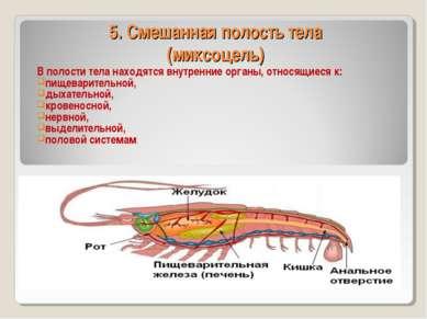 5. Смешанная полость тела (миксоцель) В полости тела находятся внутренние орг...