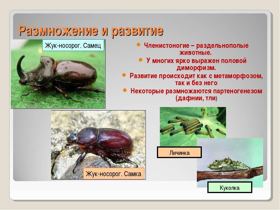 Размножение и развитие Членистоногие – раздельнополые животные. У многих ярко...