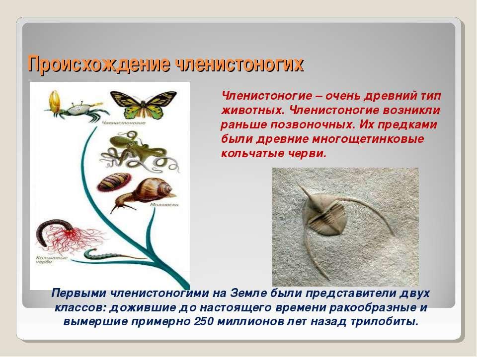 Происхождение членистоногих Членистоногие – очень древний тип животных. Члени...