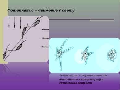 Фототаксис – движение к свету Хемотаксис – перемещение по отношению к концент...