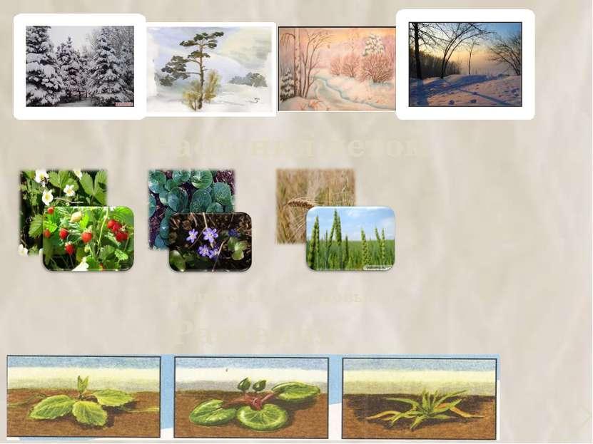 Растения летом земляника копытень злаковые Растения зимой