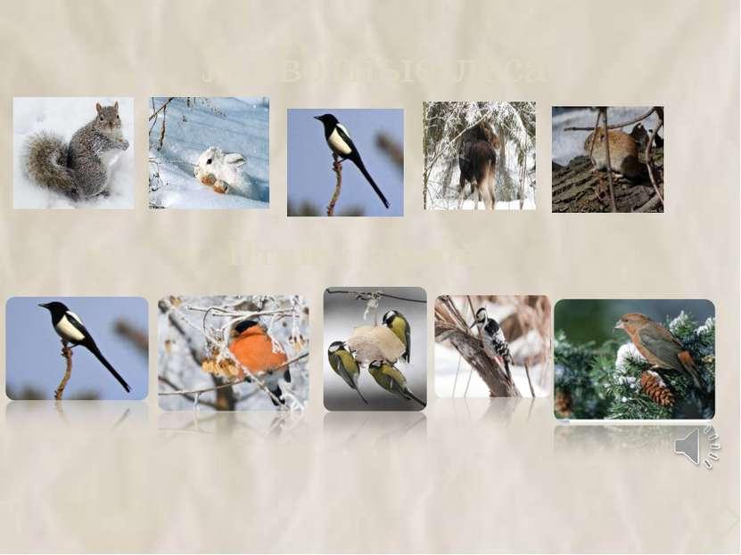 Животные леса Птицы зимой