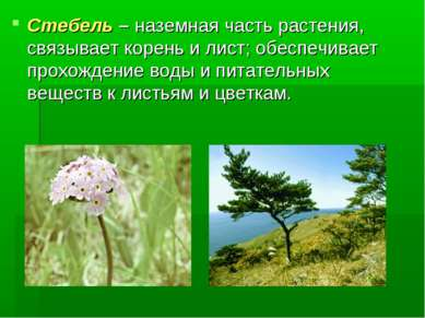 Стебель – наземная часть растения, связывает корень и лист; обеспечивает прох...