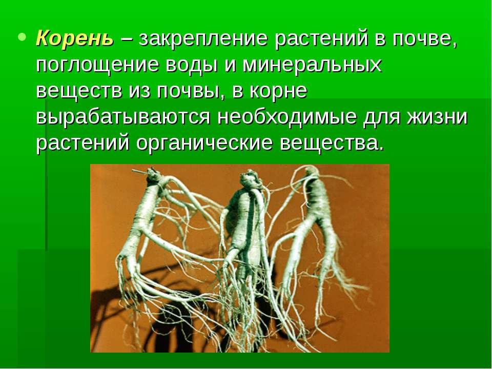 Корень – закрепление растений в почве, поглощение воды и минеральных веществ ...