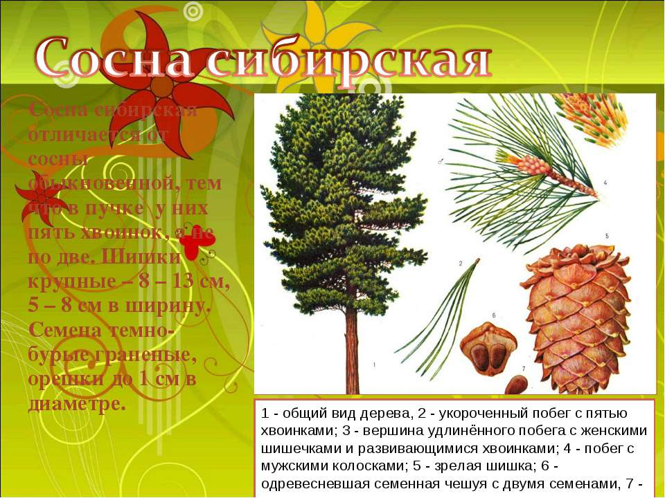 Сосна сибирская отличается от сосны обыкновенной, тем что в пучке у них пять ...