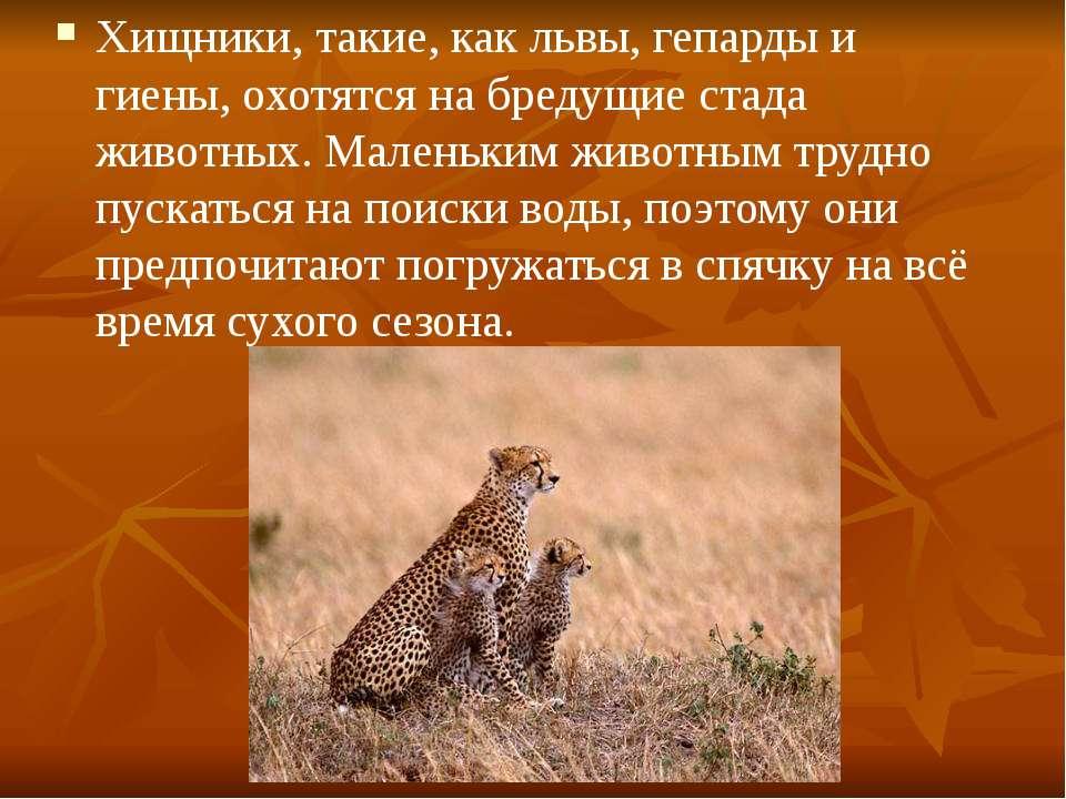 Хищники, такие, как львы, гепарды и гиены, охотятся на бредущие стада животны...