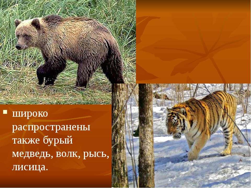 широко распространены также бурый медведь, волк, рысь, лисица.