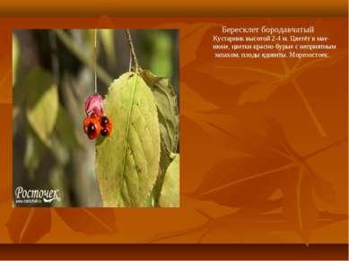 Бересклет бородавчатый Кустарник высотой 2-4 м. Цветёт в мае- июне, цветки кр...